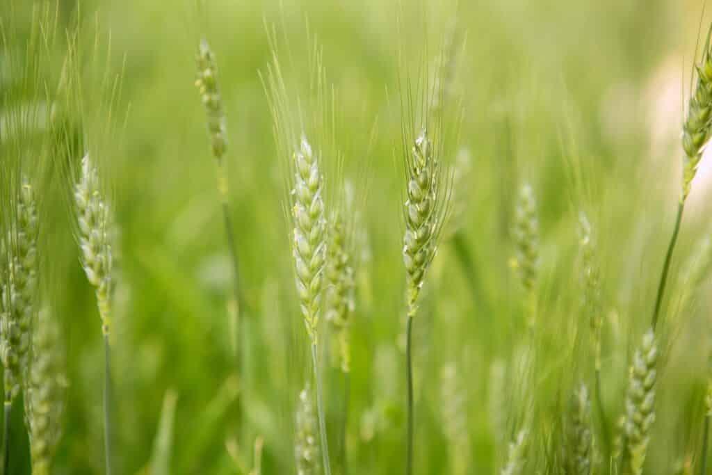 organic oat straw,oat straw supplement,benefits of oat straw,oat straw tea side effects,health benefits of oat straw,oat straw uses,oat straw extract benefits,oat straw nutrition facts,oat straw tea recipe
