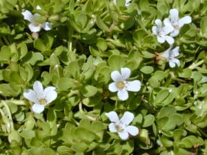 bacopa monnieri,bacopa monnieri amazon,bacopa monnieri dosage,bacopa monnieri benefits,bacopa monnieri plant,bacopa monnieri reddit,bacopa monnieri extract,bacopa monnieri side effects,bacopa monnieri thyroid