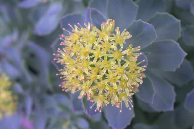 rhodiola rosea nootropic