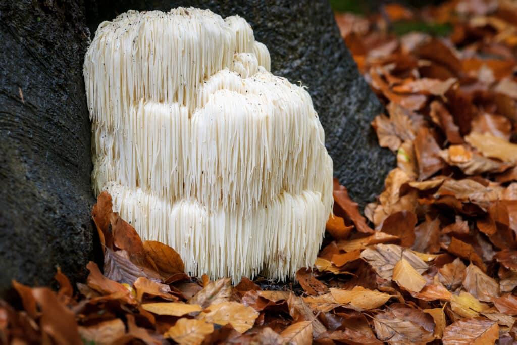 mushroom supplements for immune system boosting,shiitake mushroom supplements,organic mushroom supplements,benefits of reishi mushroom supplements,medicinal mushroom supplements,mushroom supplements for hpv