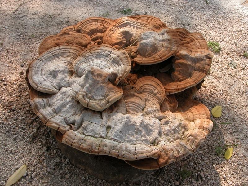 reishi mushroom,reishi,reishi benefits,reishi mushrooms,reishi mushroom benefits,reishi mushroom powder,reishi mushroom tea,reishi mushroom dosage,reishi tea,red reishi mushroom,red reishi,reishi mushroom benefits list,reishi mushroom sleep