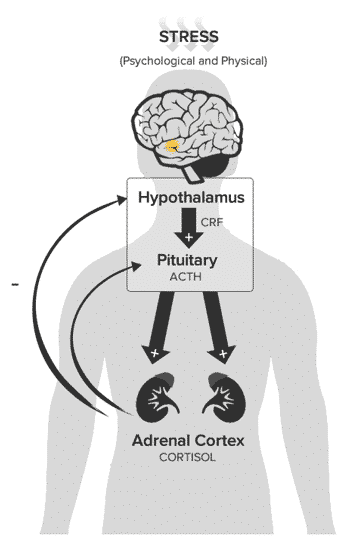 The HPA Axis